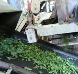 製茶工程2