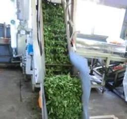 製茶工程1